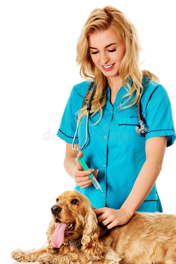 Young female veterinarian holding english cocker spaniel and doing an injection stock image