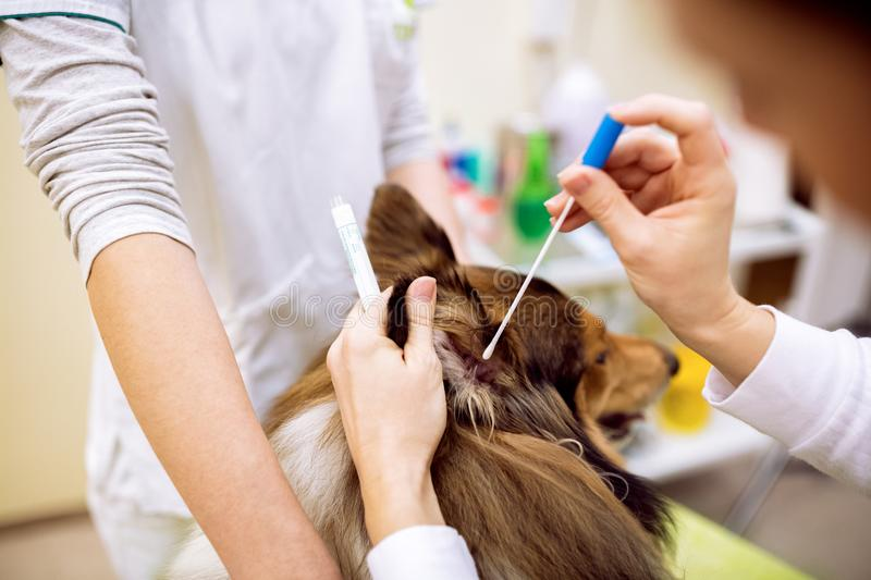 Young female veterinarian taking sample from dog`s ear. To check up analysis royalty free stock photography