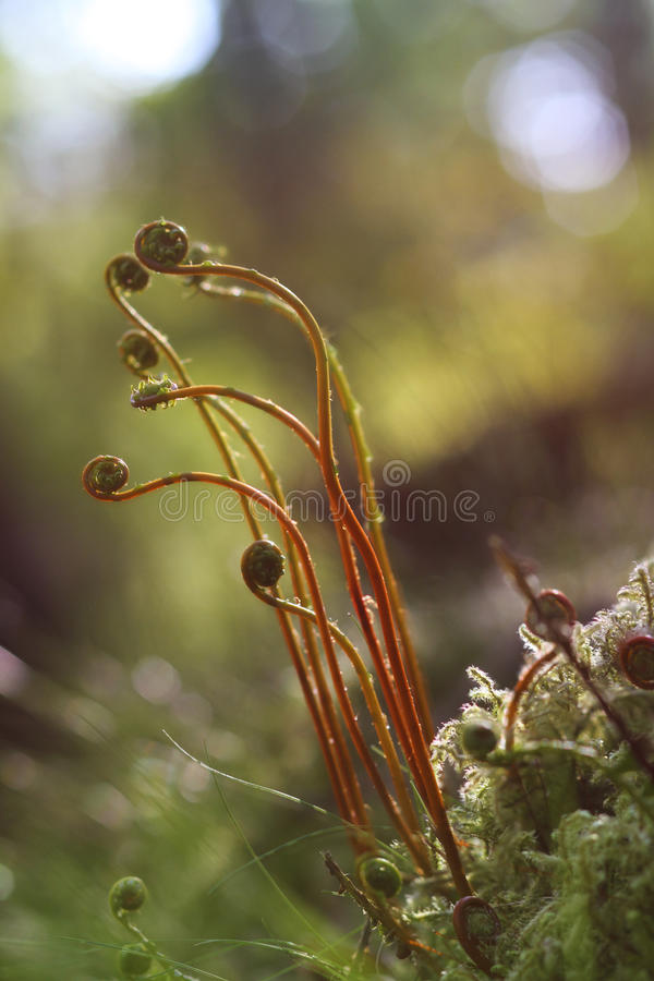 Free Young Fern Fronds Royalty Free Stock Photography - 31347257