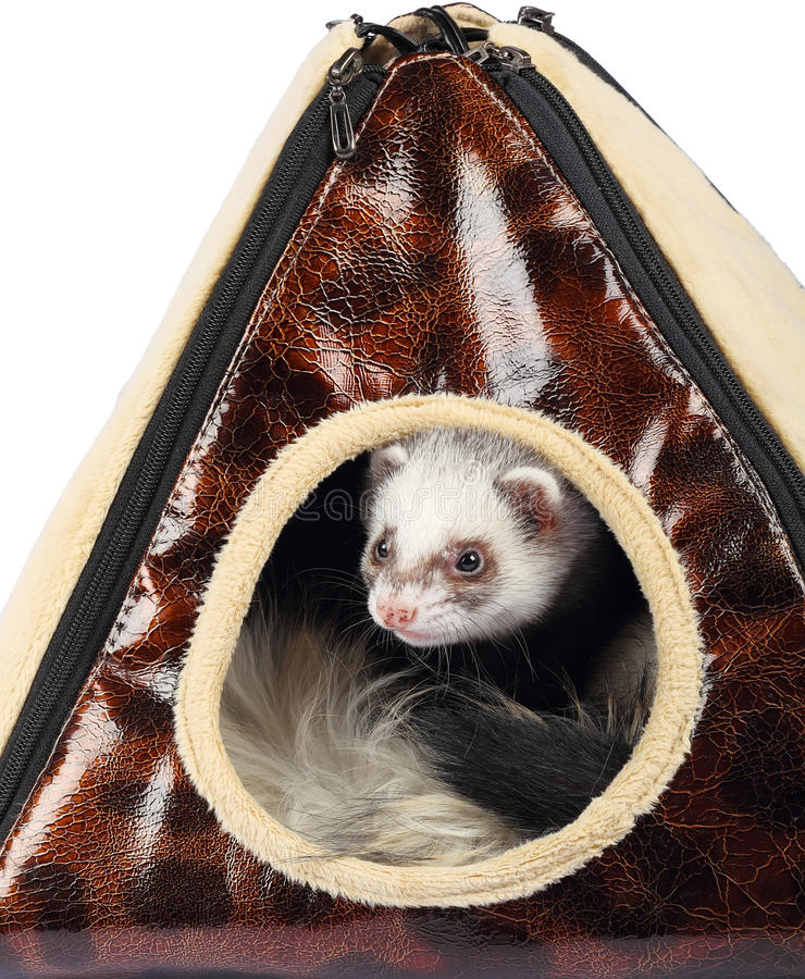 Young ferret sticking out of the house