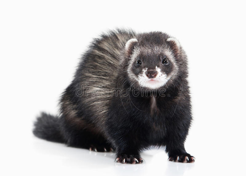 Young ferret on white background stock images