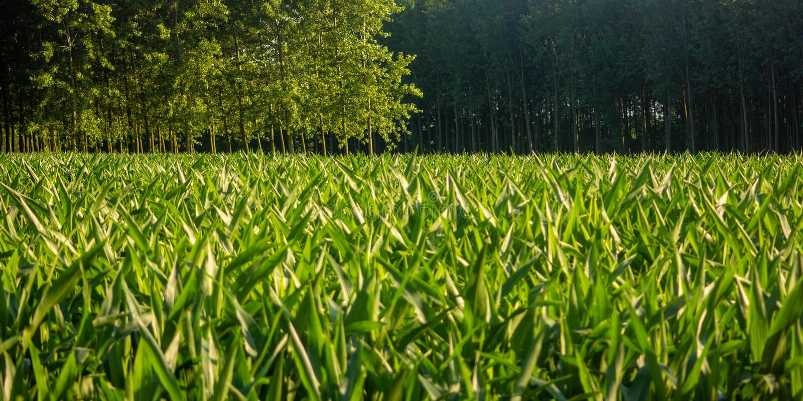 Young field of corn plants still small and fruitless. royalty free stock images