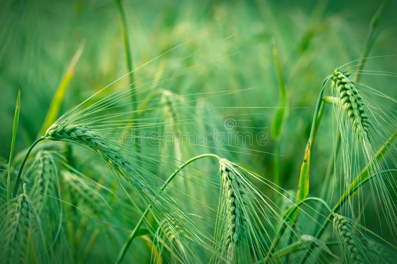 Young field of crop. Beautiful young field of crop in early summer stock image
