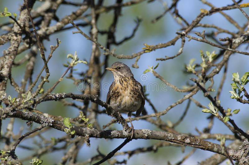 Young Fieldfare among the branches of Apple tree. With blooming leaves royalty free stock photos