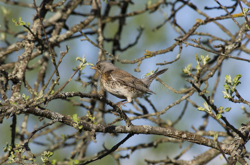 Young Fieldfare among the branches of Apple tree. With blooming leaves stock photos