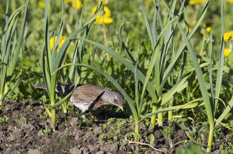 Young Fieldfare looking for worms among beds of garlic. At the farmers garden royalty free stock images
