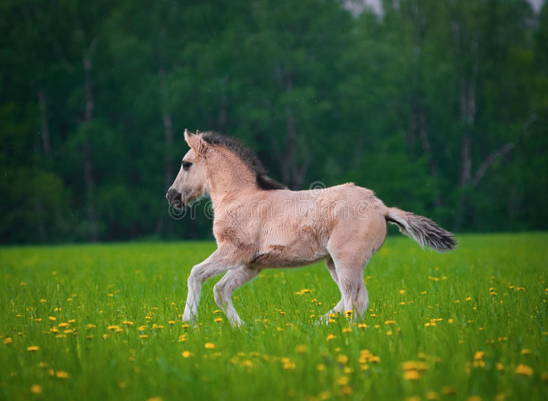 Young filly runs. Through the field of dandelions royalty free stock photo