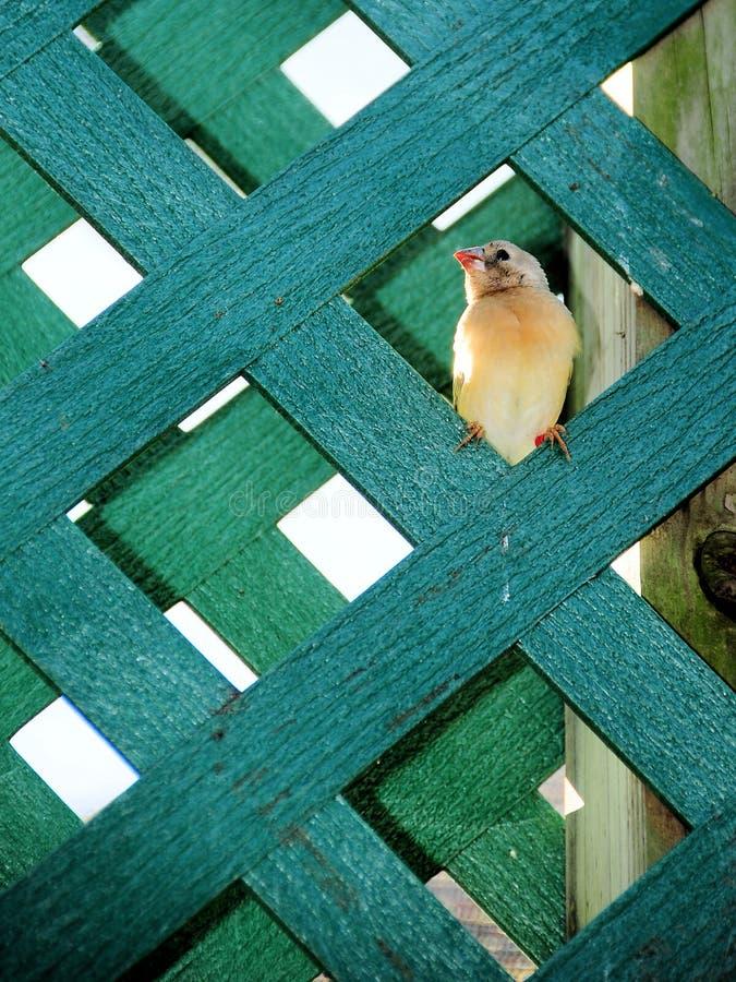 Young Finch Bird Royalty Free Stock Photos