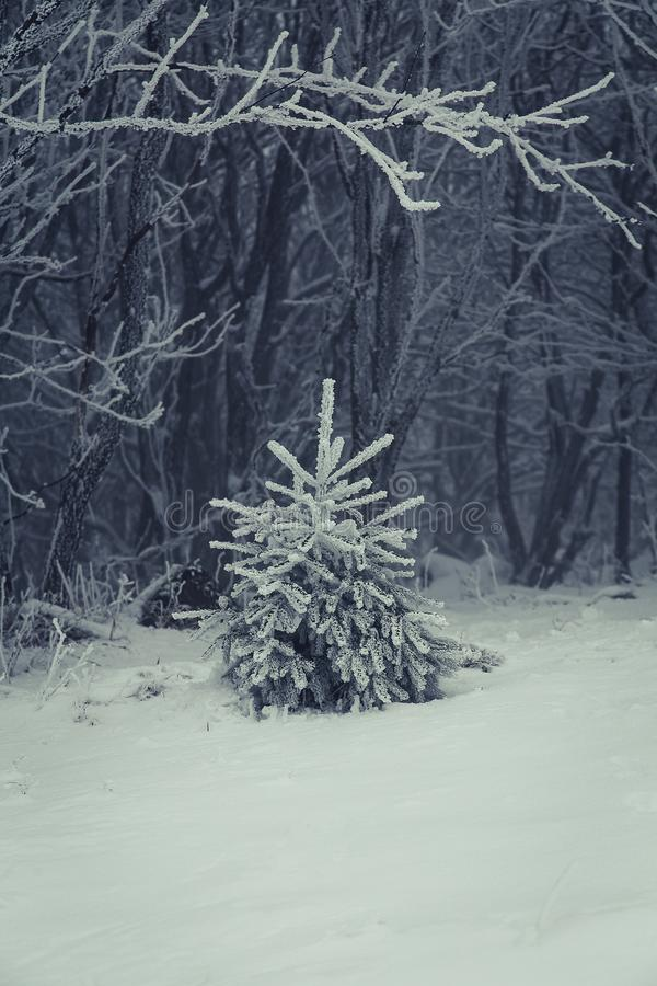 A young fir on a frosty day. Cloacked in winterly mist royalty free stock images