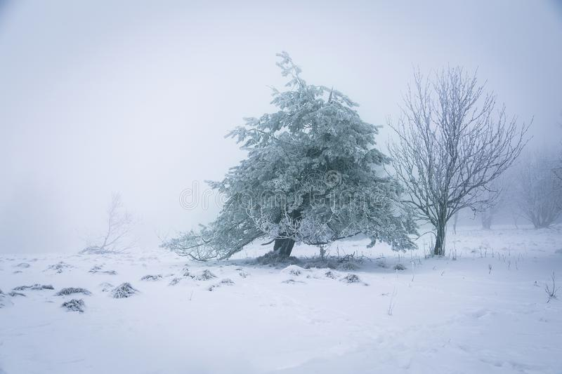 A young fir on a frosty day. Cloacked in winterly mist stock photos