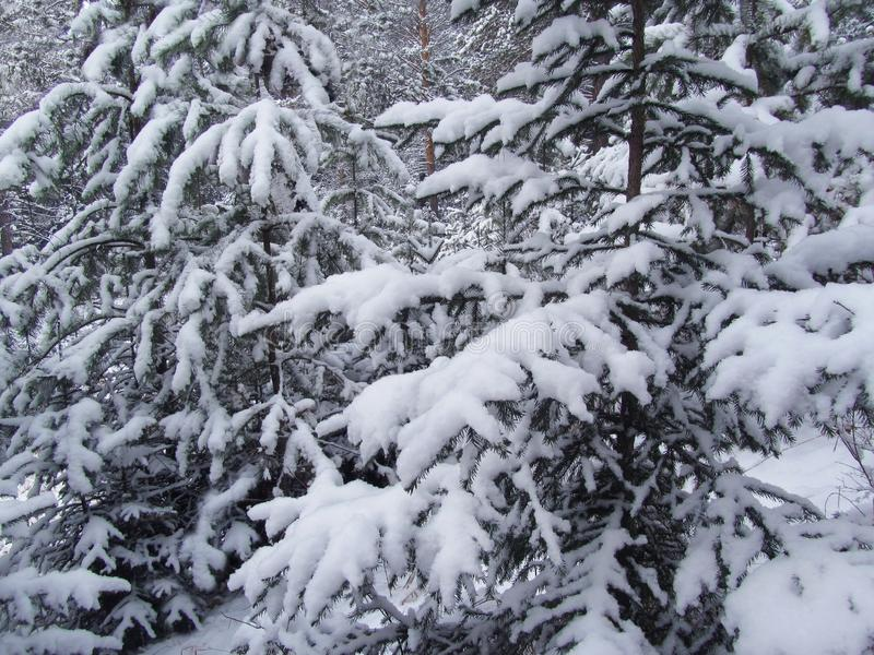 Young fir and pine trees covered in snow. Christmas scene background. Fluffy snow on the tree branches. Winter forest landscape. royalty free stock images