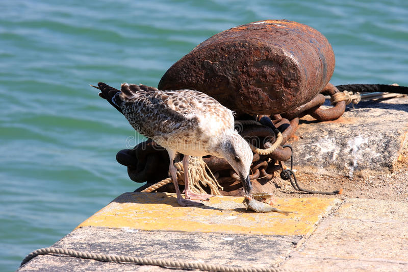 Young fish eating gull in talamone italy stock photo for Dreaming of eating fish