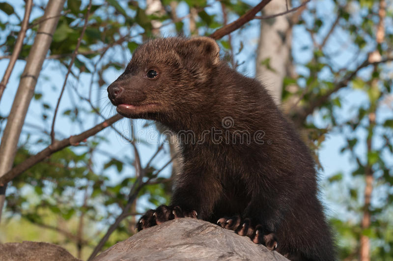Download Young Fisher (Martes Pennanti) Above Viewer On Log Stock Photo - Image: 41877195