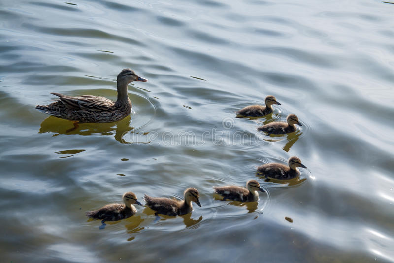 Young flock royalty free stock photos