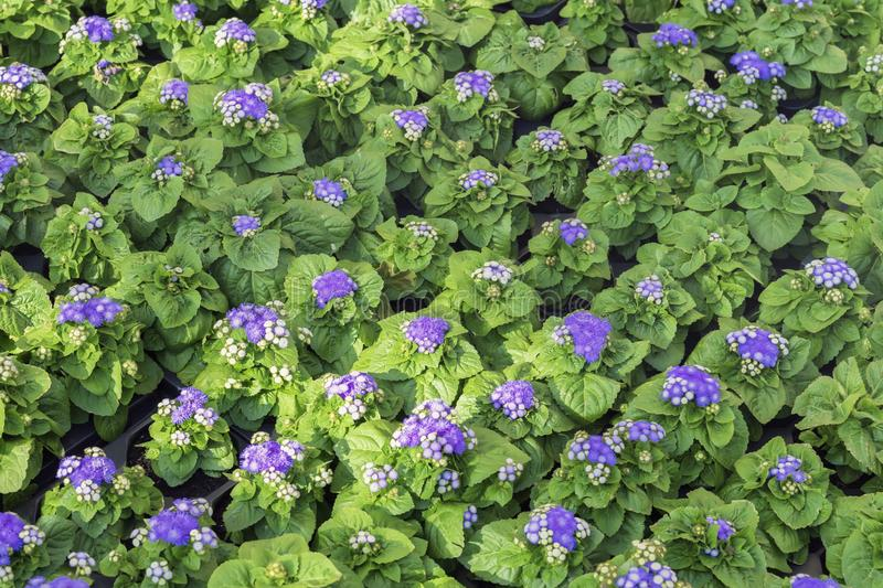 Young flowering seedlings with purple flowers in pots for flowerbeds of the city. Beautiful seasonal floral background royalty free stock images