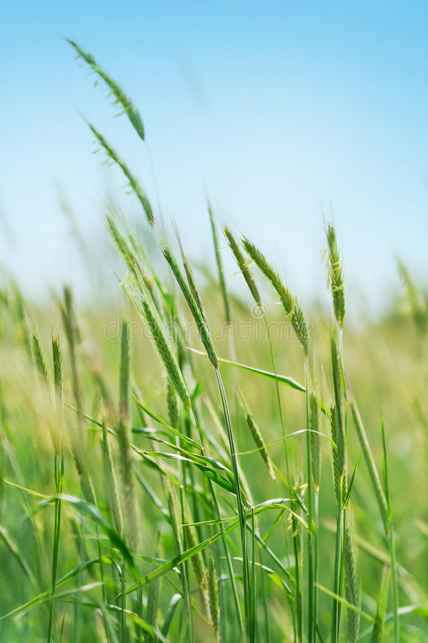 Free Young Flowering Spikes In Field Royalty Free Stock Photo - 49159875