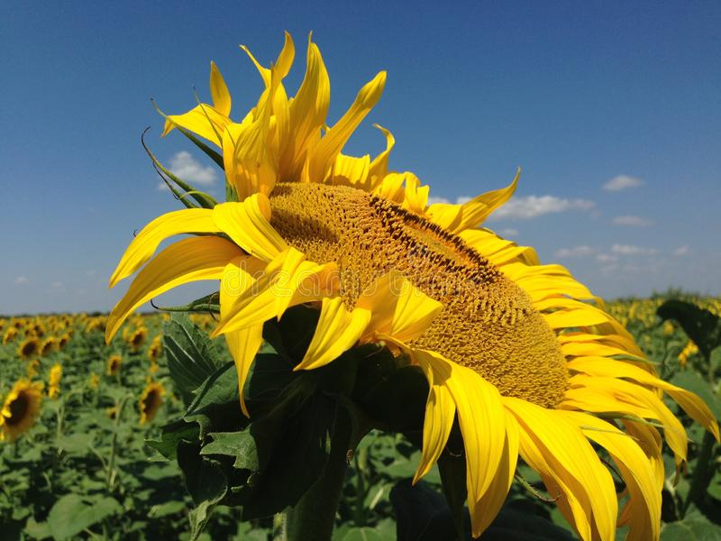 Sunflower  with golden petals.. Green leaves as a background royalty free stock photography