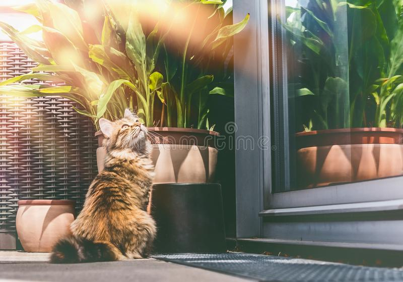 Young fluffy cat on balcony at window and plants . stock photos