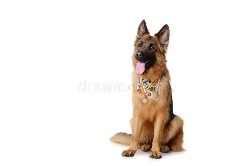 Young fluffy german shepherd dog with its owned gold medals isolated on white royalty free stock images