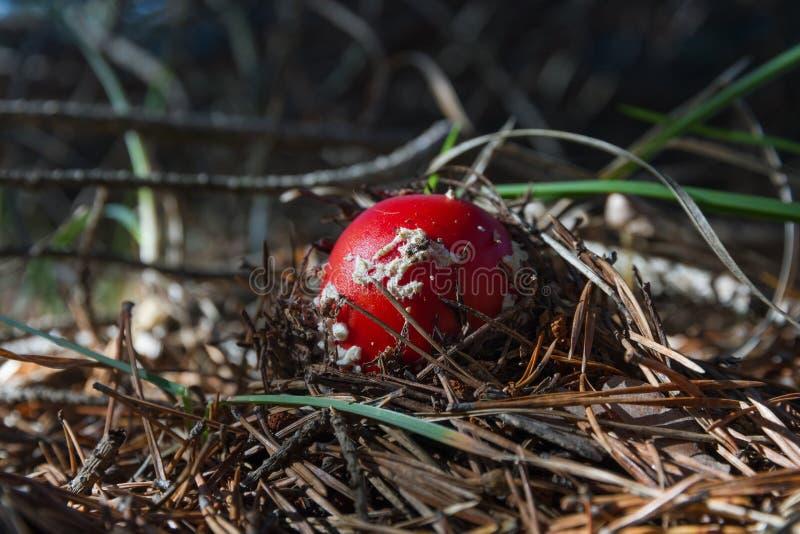 Mushroom Fly Amanit Being Born stock image