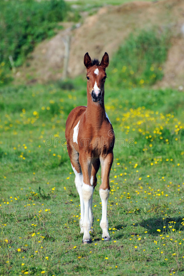 Download Young foal stock photo. Image of freedom, mammal, fields - 20028726