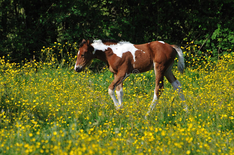 Download Young foal stock photo. Image of horses, farm, animals - 20028836