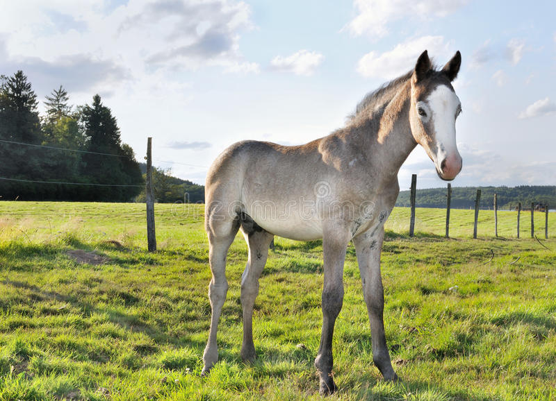 Young foal. Gray and white young foal in a meadow royalty free stock photo