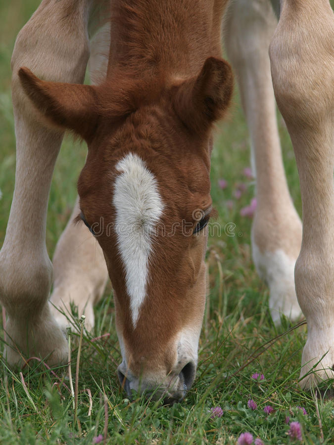 Download Young Foal stock photo. Image of beauty, baby, outdoor - 28979224