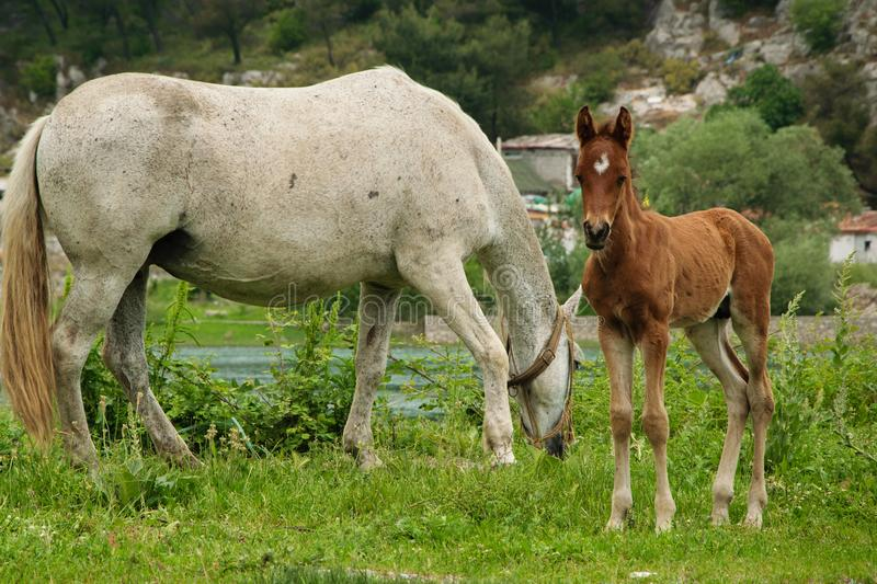 Young foal with his mom grazing in the meadow royalty free stock photography