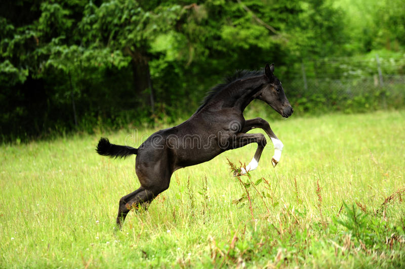 Young foal is jumping on a paddock stock photography