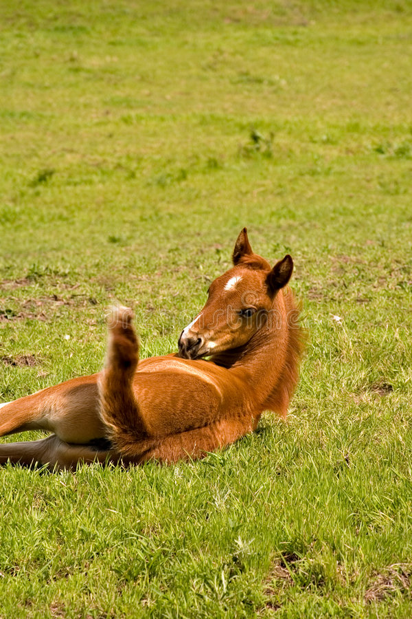 Young foal looking at tail stock images