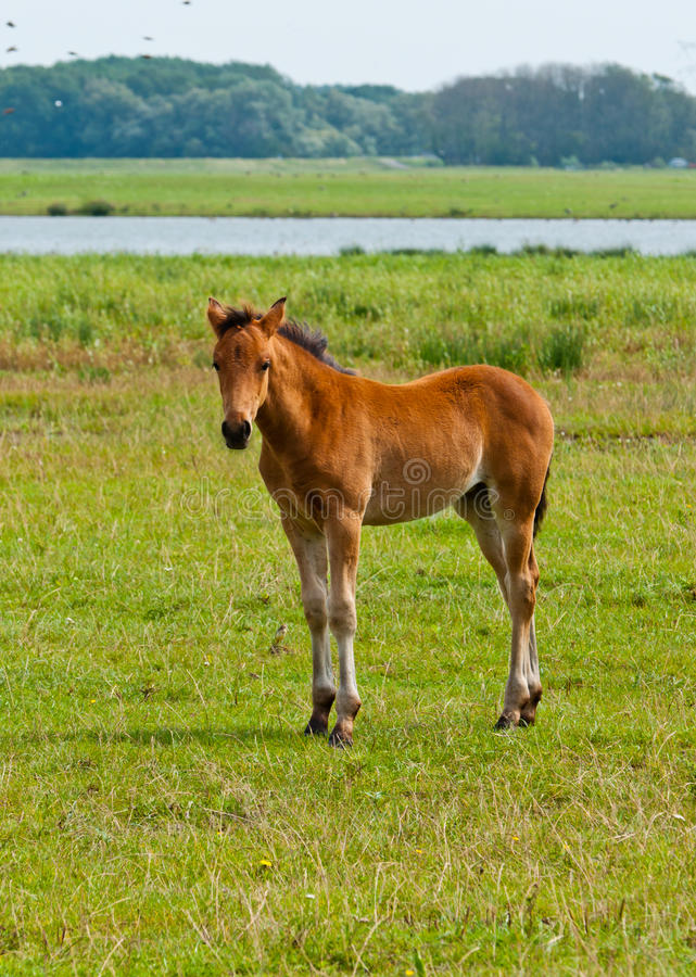 Young Foal Standing In Grassland Stock Image