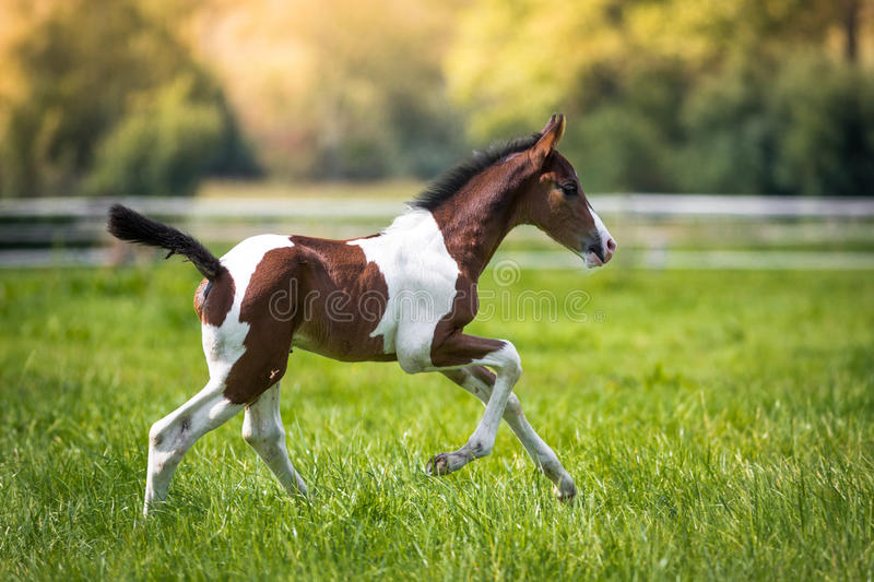 Young foal. Still very young brown / white foal runs across the pasture stock images