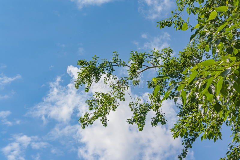 Young foliage against the blue summer sky stock photo