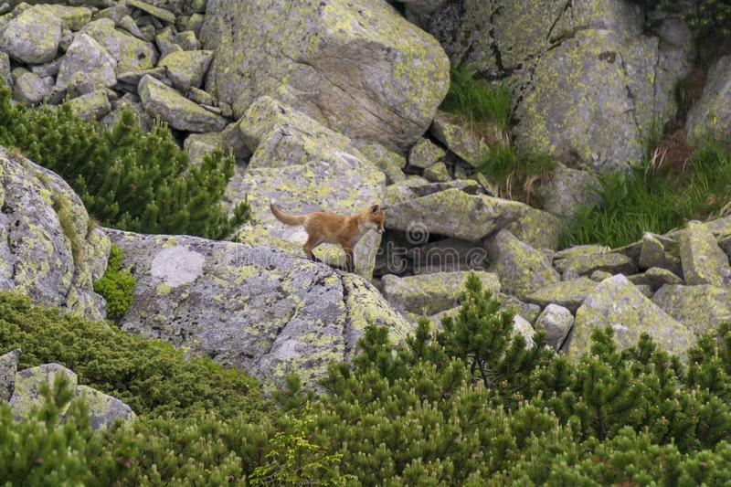 A young fox on the rock. Tatra Mountains. Slovakia stock photography