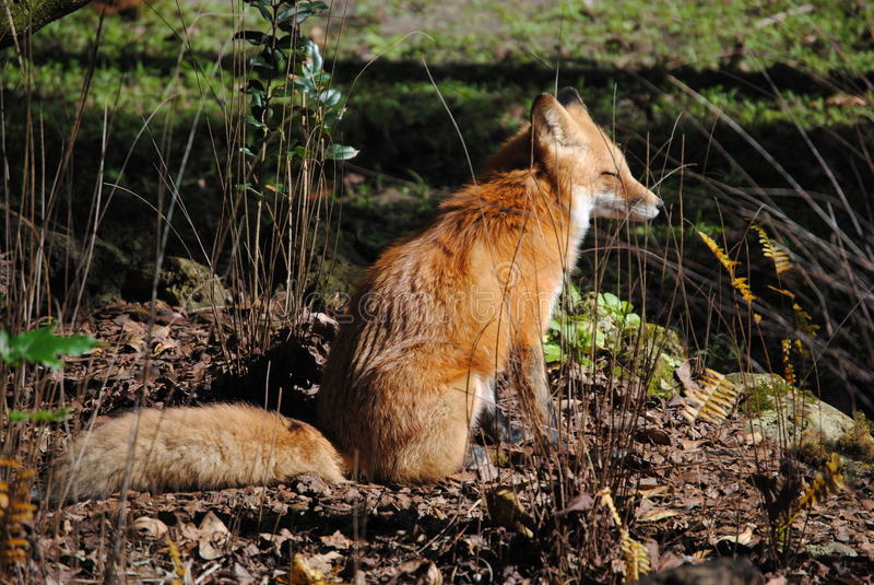 a young fox sitting in the sunshine stock photo image of rays