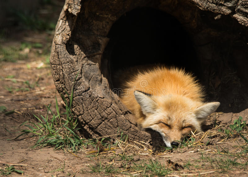 Young fox sleeping stock images