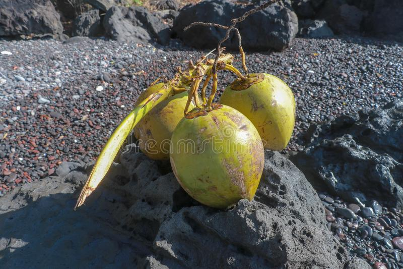 Young and fresh coconuts with branches on lava stone on the beach with black volcanic sand. Natural beach with boulders stock photo