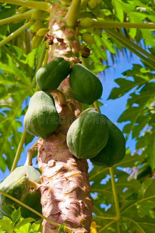Young fresh green papaya hanging from the tree royalty free stock photography