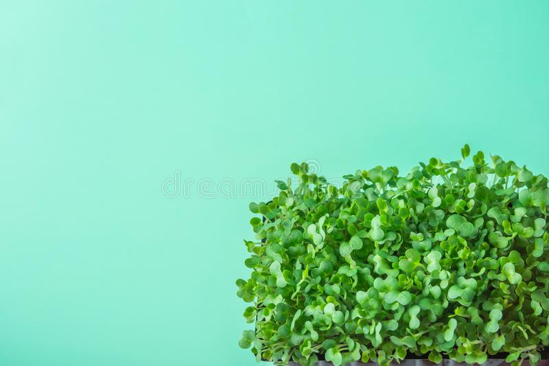 Young Fresh Green Sprouts of Potted Water Cress on Pastel Turquoise Background. Gardening Healthy Plant Based Diet Food Garnish royalty free stock image