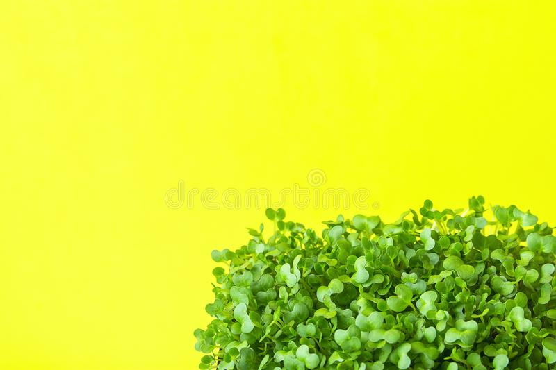 Young Fresh Green Sprouts of Potted Water Cress on Pastel Yellow Background. Spring Gardening Healthy Plant Based Diet Ingredients stock images