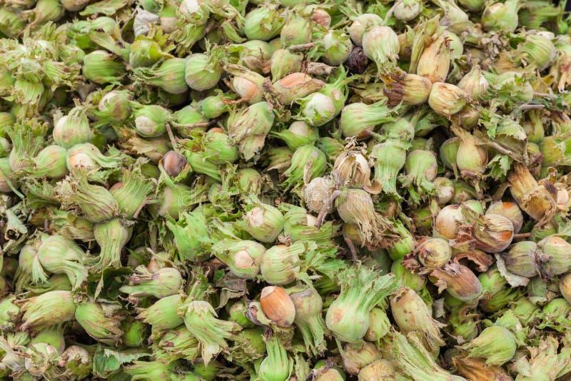 Young fresh hazelnuts ripe stock images