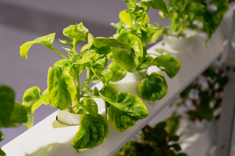 Young and fresh Organic harvested vegetables hydroponic garden royalty free stock image