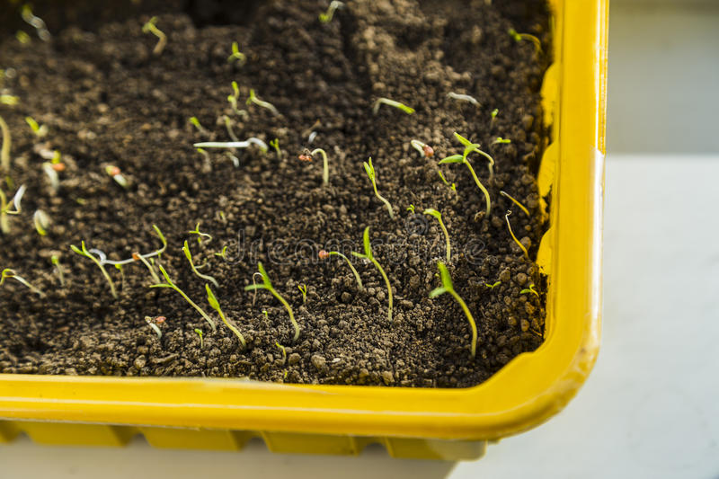 Young fresh seedlings royalty free stock image
