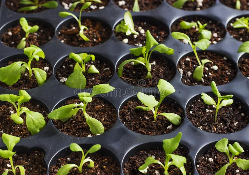 Young fresh seedlings in plastic pots, organic growing vegetables stock photo