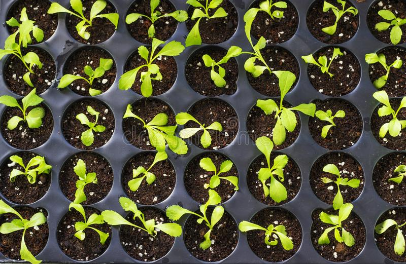 Young fresh seedlings in plastic pots, organic growing vegetables royalty free stock photography