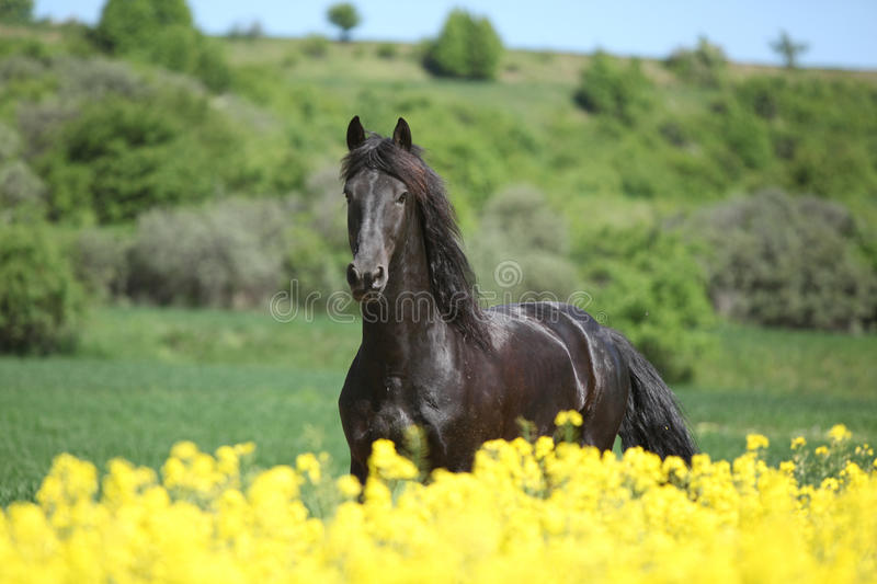 Young friesian horse running behind colza field. In spring royalty free stock photography
