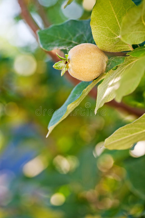 Young fruit on quince tree stock photo