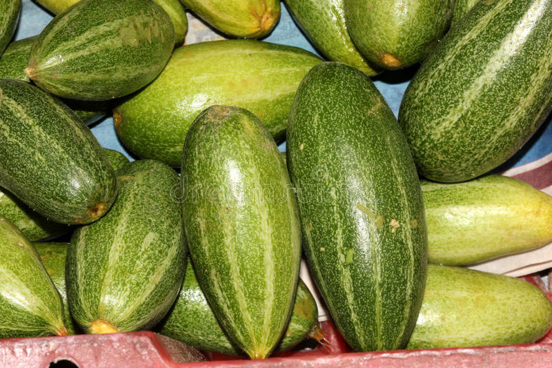 Young fruits of Pointed gourd, Trichosanthes dioica royalty free stock photography