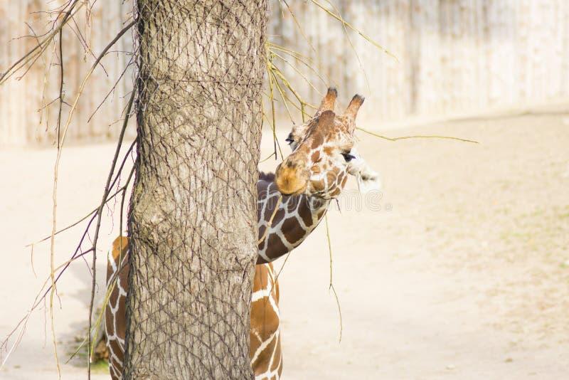 Young funny giraffe. Closeup of a Giraffe head eating stock images